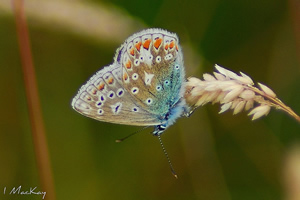 common blue butterfly - tweedweb.co.uk 44b165aac